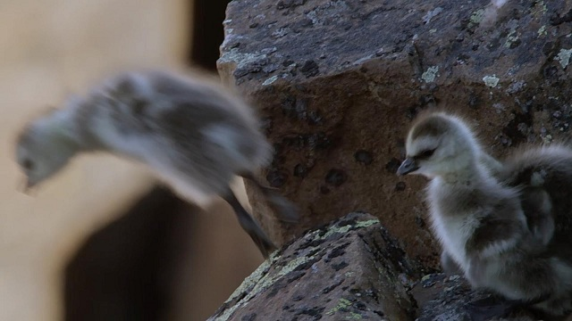 barnacle-gosling-bbc-life-story-4k BBC's 4K Documentary Shows A Barnacle Gosling Falling Down A Cliff Face