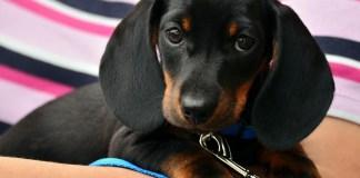 Adoção de cachorros Adoção de cães