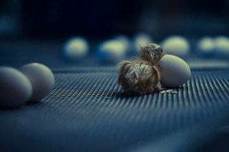 chick on hatchery conveyor belt