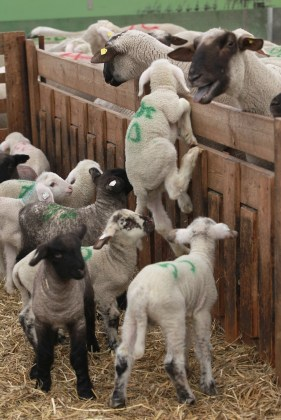 lamb marked for slaughter trying to reach his mother