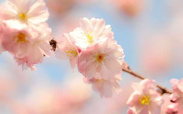Скачати шпалеру на телефон: Рослини, Квіти безкоштовно. 33887.