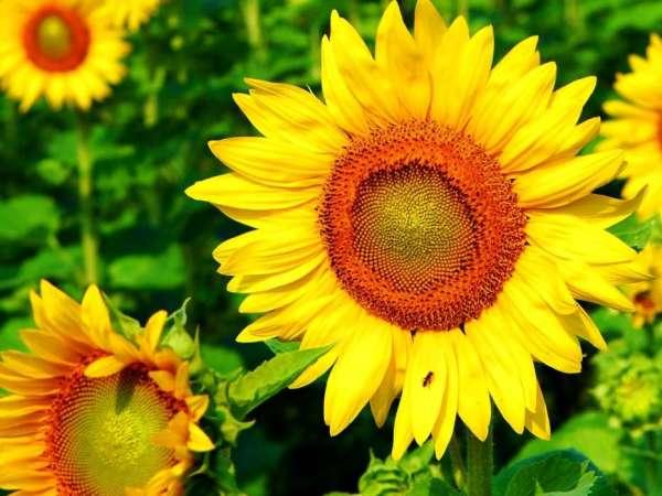 Скачати шпалеру на телефон: Рослини, Соняшники безкоштовно ...