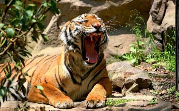 Скачати шпалеру на телефон: Тварини, Тигри безкоштовно. 47283.