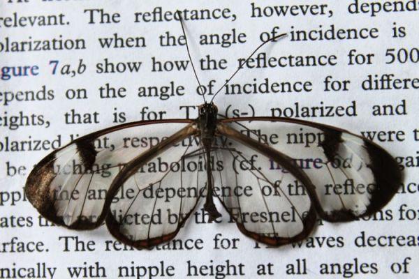 Skrzydła motyla inspiracją dla wyświetlaczy antyrefleksyjnych