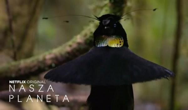 """Te ptaki z serialu """"Nasza Planeta"""" są obłędnie hipnotyzujące"""