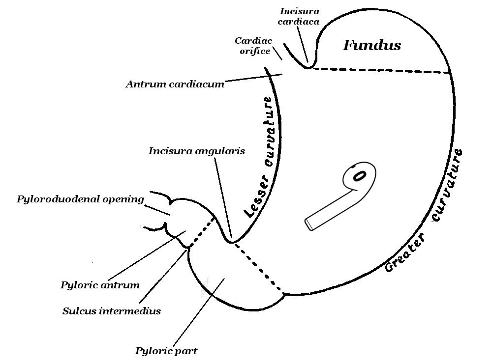 Słuchawka AirPods w żołądku (schemat)