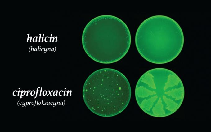 Halicyna (halicin) – na górze, Cipofloxacin (cyprofloksacyna) – na dole)