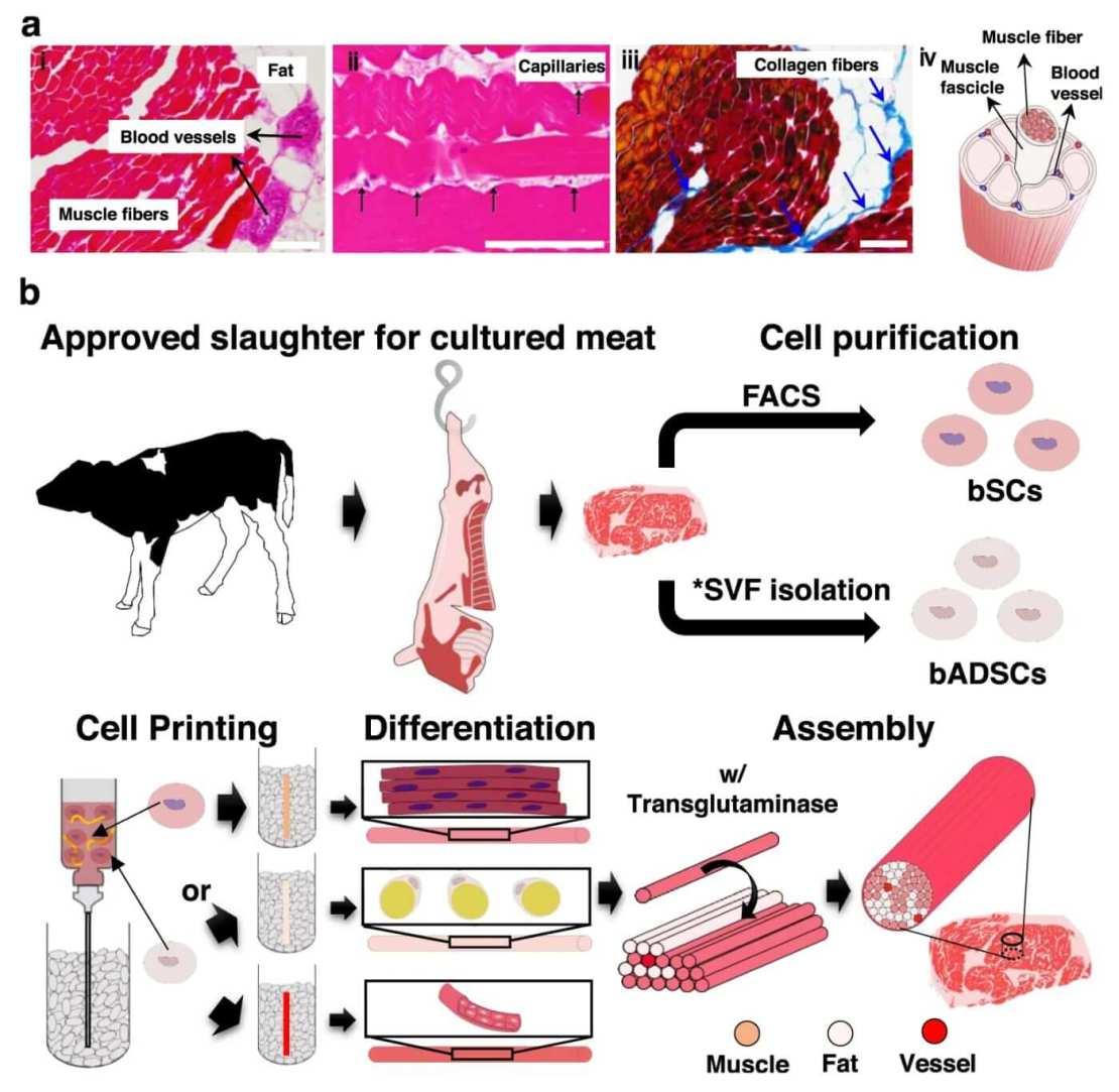 Schemat biodrukowanej wołowiny Wagyu w laboratorium