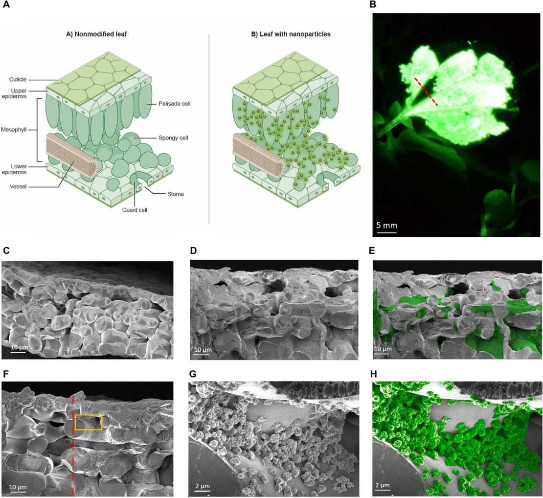 Nanocząsteczki w świecących roślinach