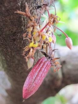 Cacao orgánico en el PN Patuca