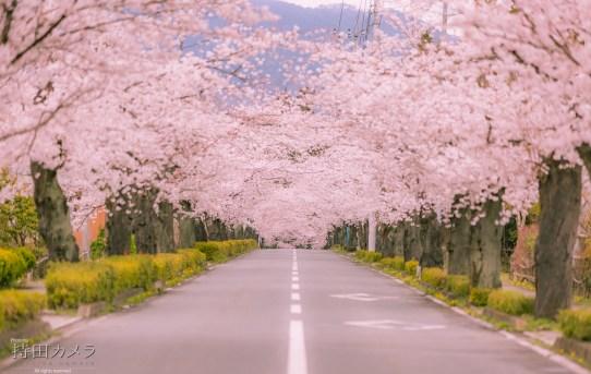 長瀞町 勝手に桜開花宣言2018