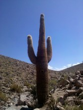 Cactos gigantes no Deserto do Atacama