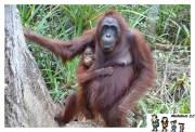 Orangutanes en el Parque Tanjung Puting, Borneo - Indonesia