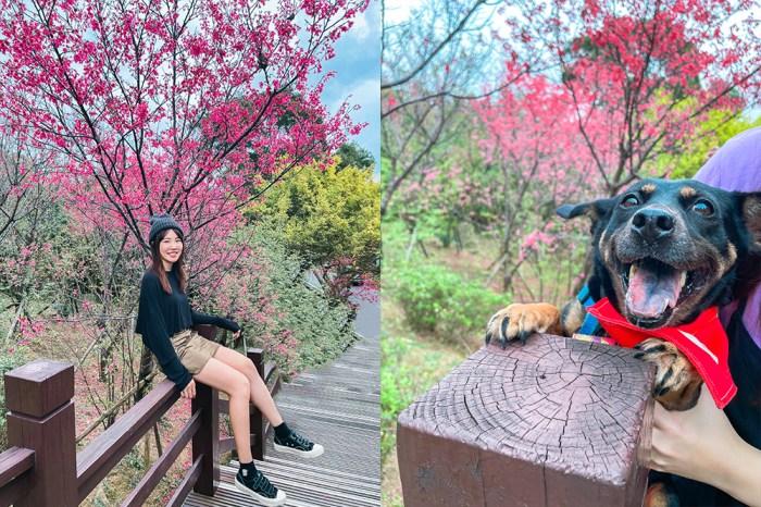 新北櫻花景點|樹林大同山櫻花林步道:不用爬山輕鬆賞櫻!2/12花況