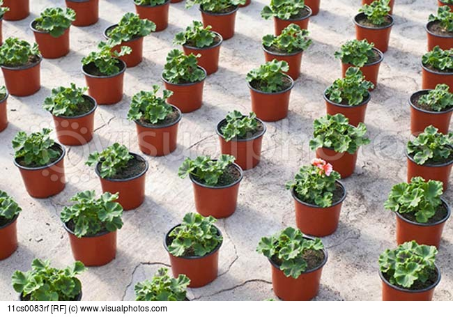 flower-in-rows-of-potted-plants