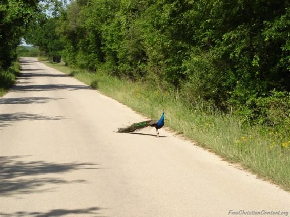 fcc-org-peacock_2