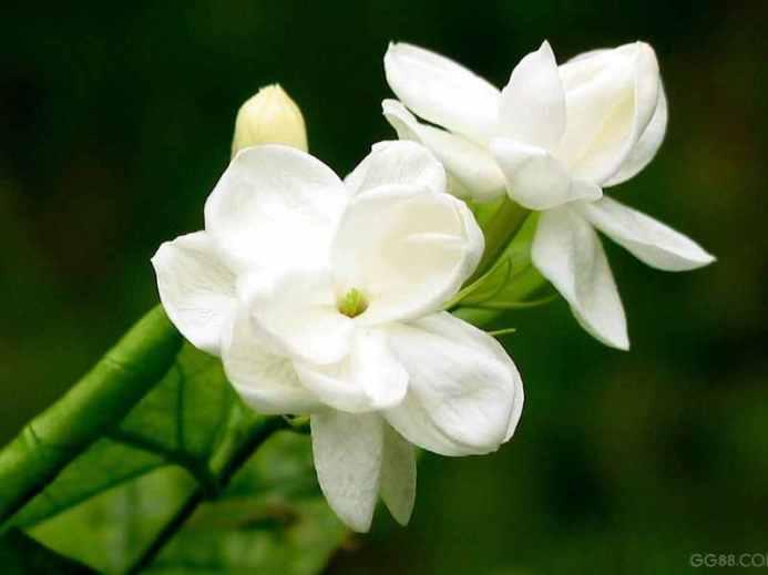 http://1.bp.blogspot.com/-O0ohVco5rNQ/T-by_Jd4JCI/AAAAAAAAADo/CrfEoecFqOY/s1600/Dried_Jasmine_Flower.jpg