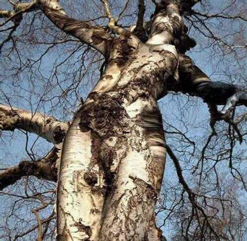 Japanese Black Pine Natural History