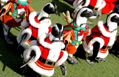 Penguins in Santa suits to welcome Christmas 4