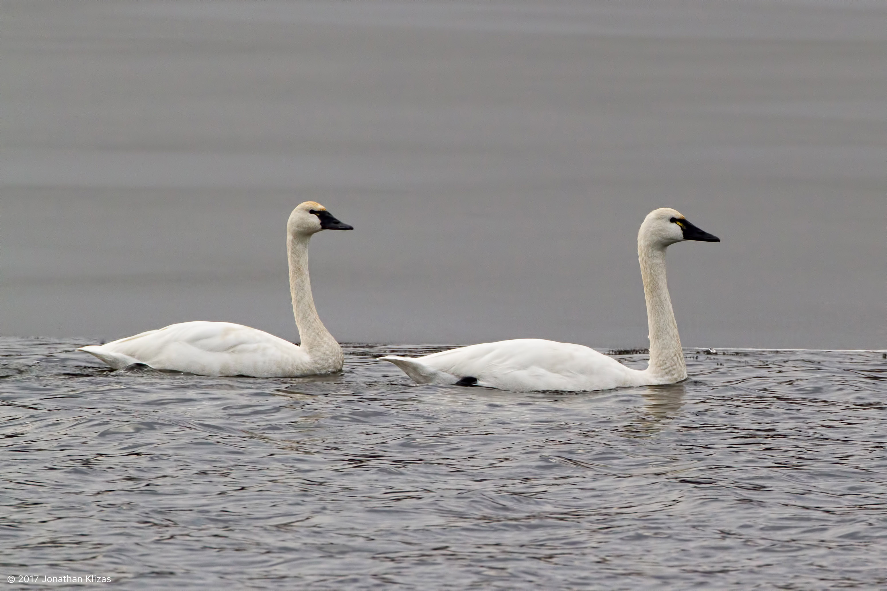 Tundra Swans Lake Hopatcong Nj Feb 8