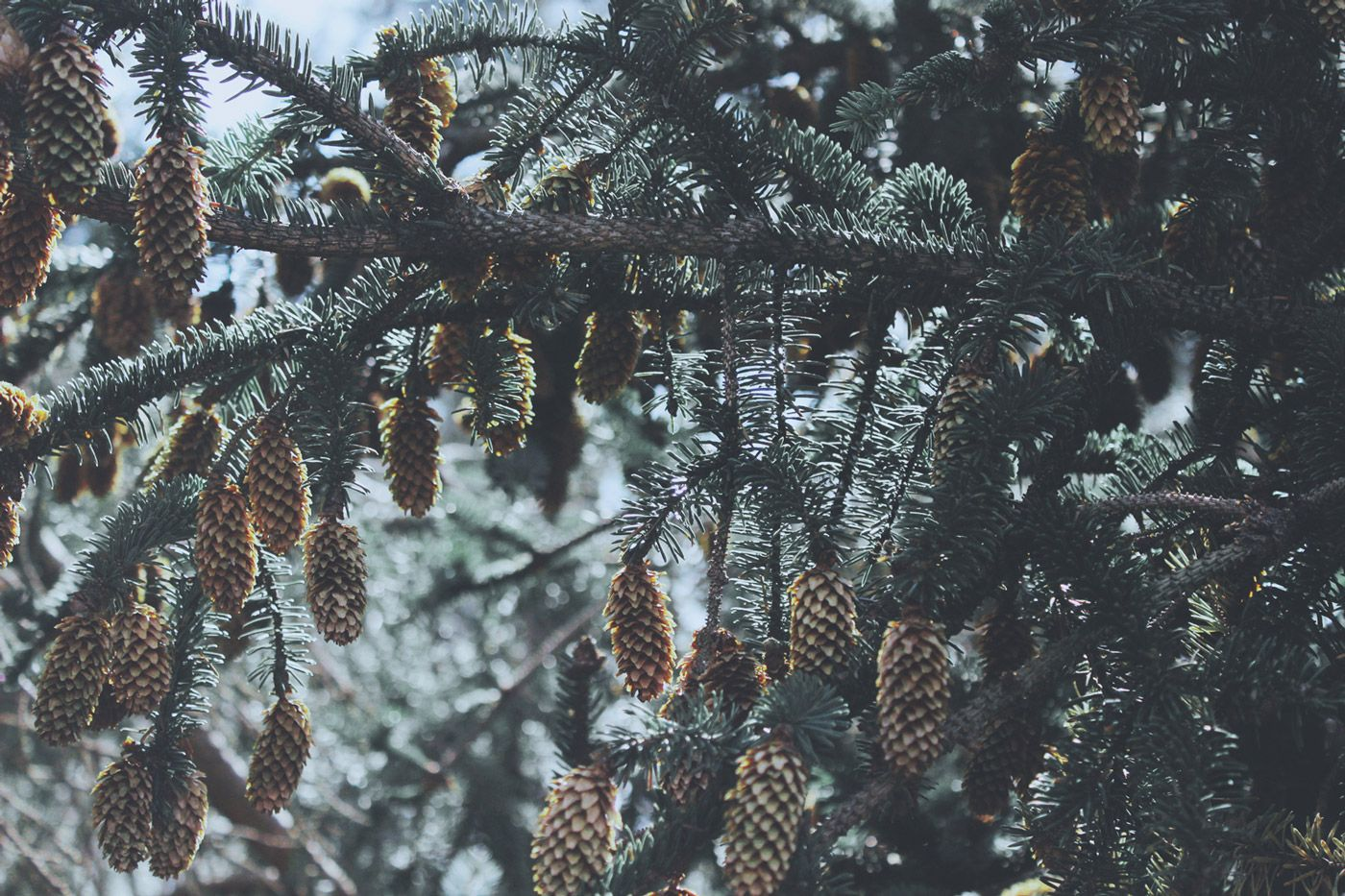 sparrow_and_snow-pine