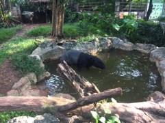 Tapir taking a bath at the Dusit Zoo.