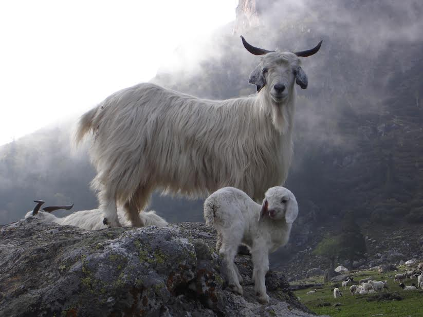 hills-goat-photography