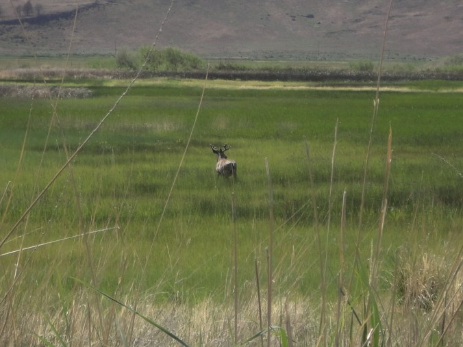 A lovely mule deer buck in velvet in the Malheur National Wildlife Refuge. No deer hunting allowed in Malheur, but upland bird and waterfowl hunting opportunities abound.