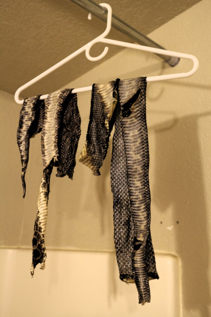 Tanned snake skin hanging to dry