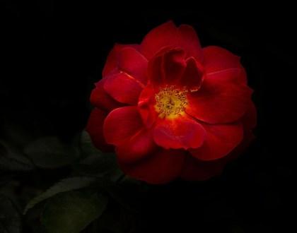 sensual rose