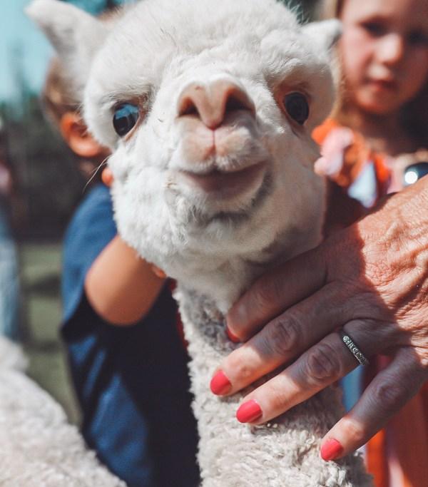 mistletoe farm alpacas Franklin tn