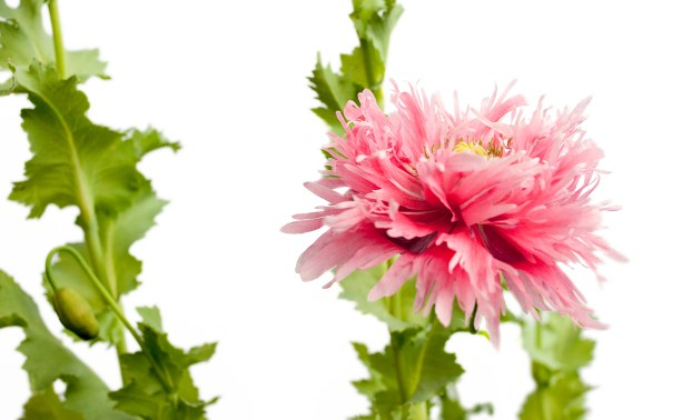 Pink Poppies-5