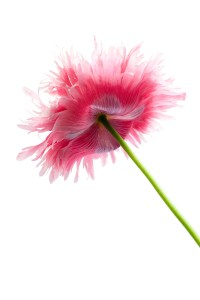 Pink Poppies-6