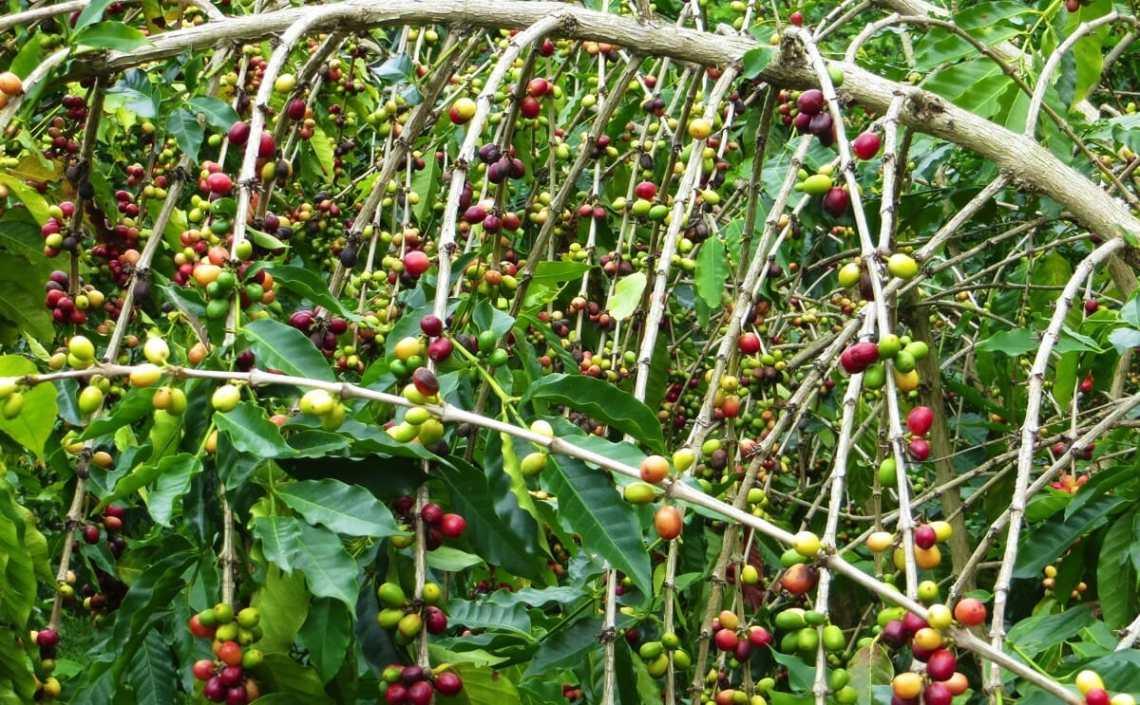 Image Result For Where To Buy Kona Coffee On Big Island