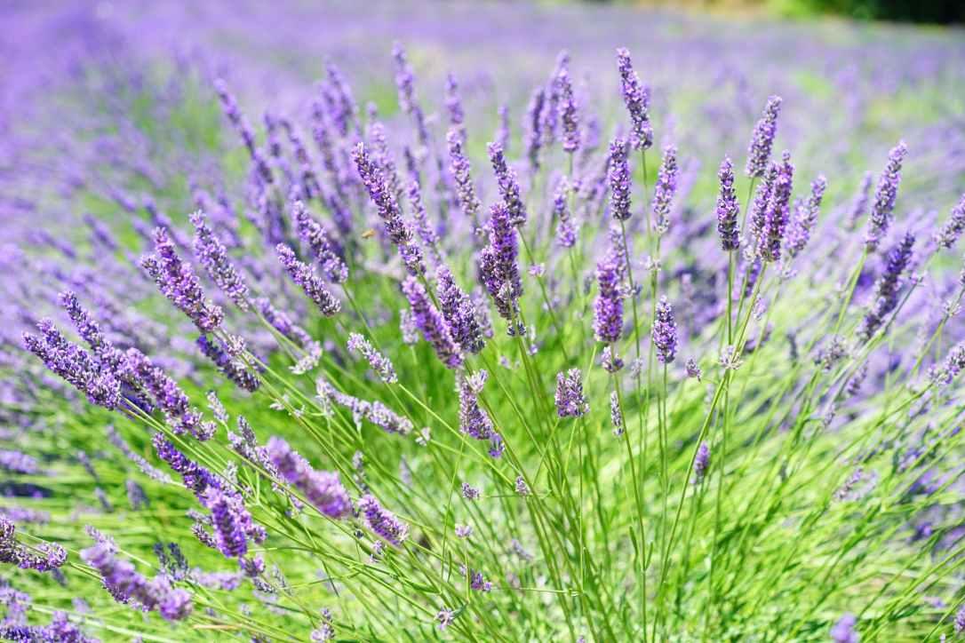 Lavender Growing in Field
