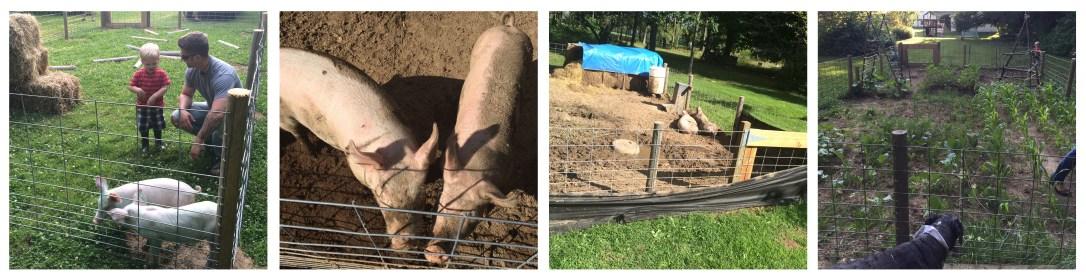 Pigs tilling the Garden
