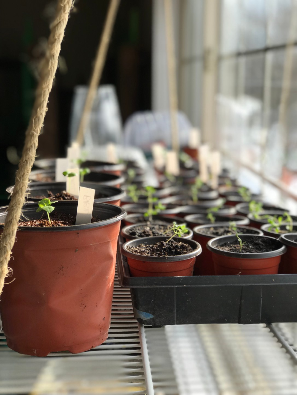 Seedlings growing in window hanging shelf
