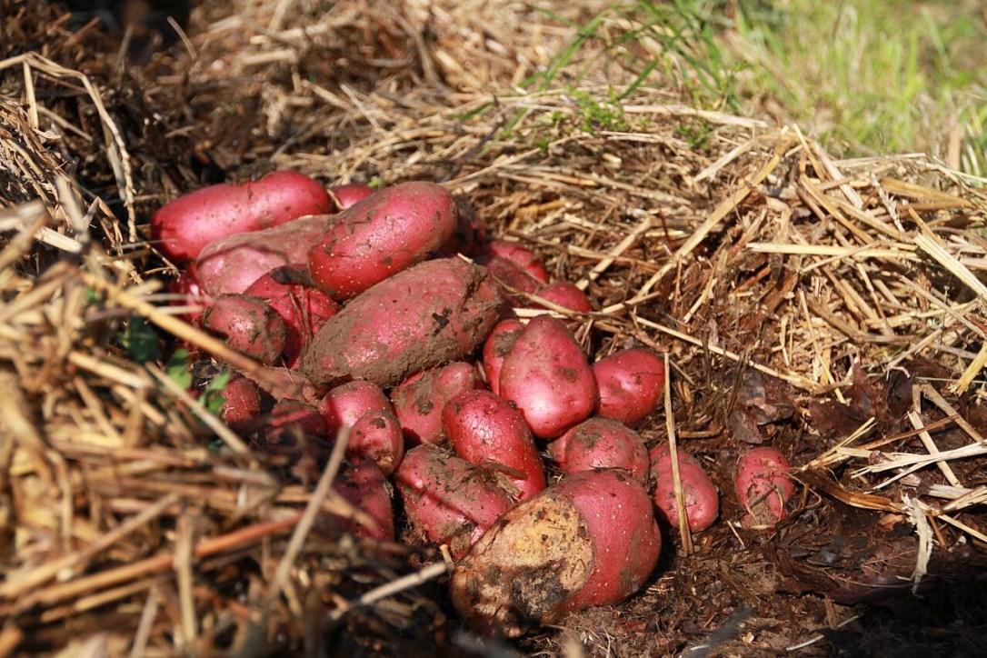 Sweet potato harvest in straw