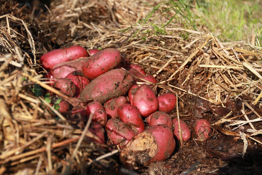 Sweet potato harvest in straw
