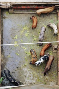 Pig Enclosure