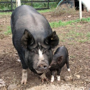 Berkshire Sow and Piglet