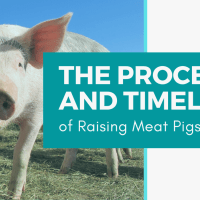 The Process and Timeline of Raising Meat Pigs