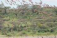 Tanzania, Sarengeti 2008. Flamingo