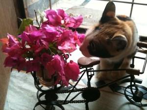 pet-cat-pepo-flower-bougenvilla