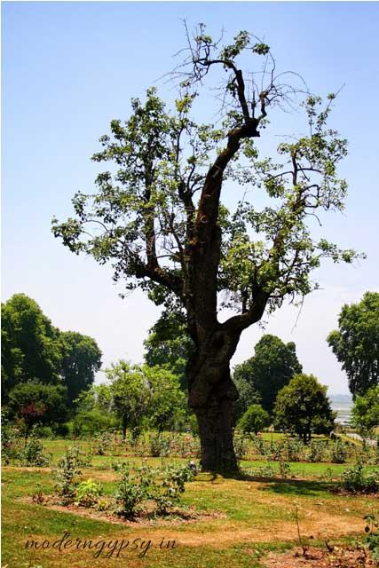 Sringar in a day Nishat bagh bonsai tree