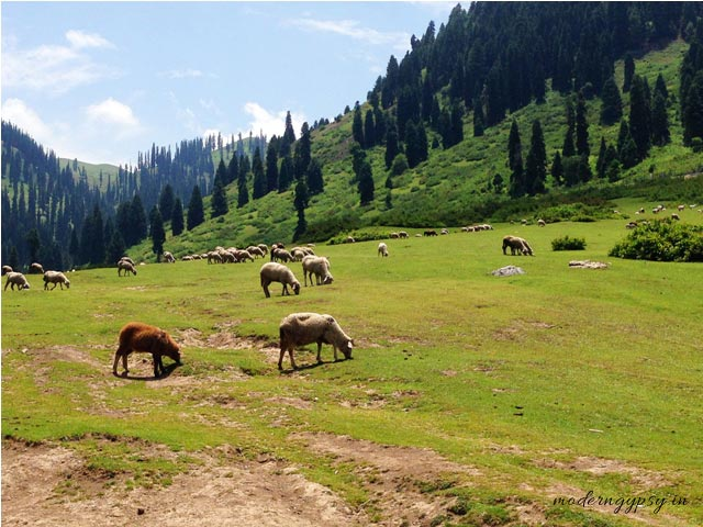 Sheep grazing in the meadows, Doodhpathri