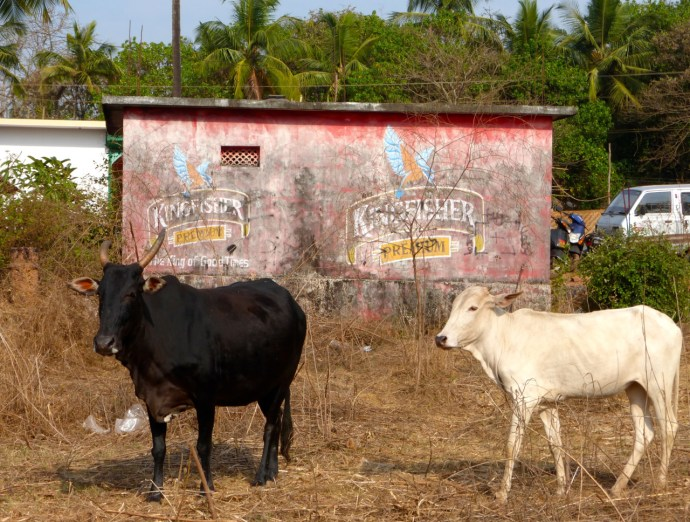 kühe Indien, goa