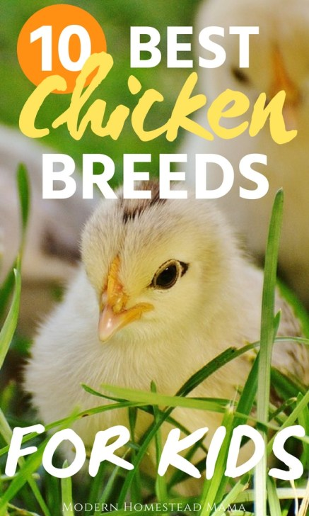 10 Best Chicken Breeds For Kids