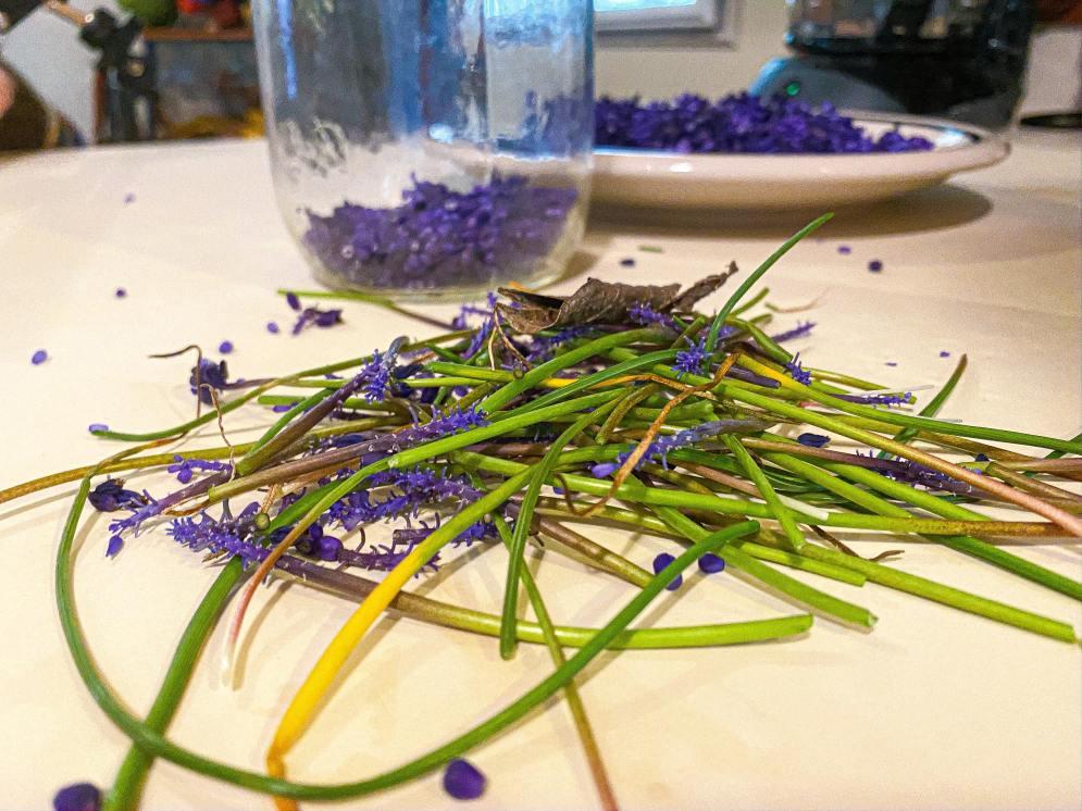 Harvesting Grape Hyacinth Buds