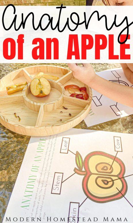 Anatomy of an Apple Activity for Preschoolers | Modern Homestead Mama